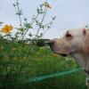 キバナコスモスと犬