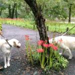 「曼珠沙華の里」日高市巾着田へ犬とお散歩