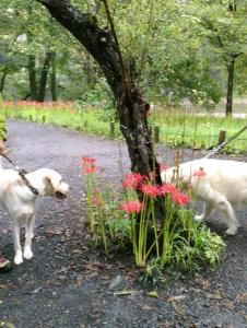 曼珠沙華と犬
