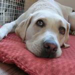 ラブラドールの寿命は約12年!犬との死別が怖いと感じる私が今できること