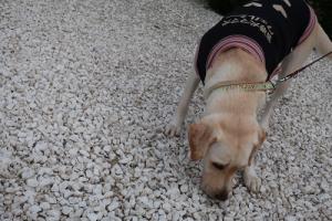 砂利のにおいを嗅ぐ犬
