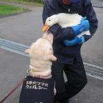 友好的な犬とアヒル アヒルの飼育員に学ぶ「本物」の愛情