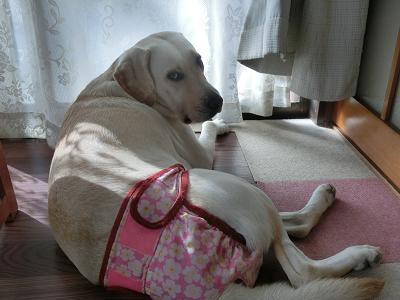 シーズンパンツを履く犬
