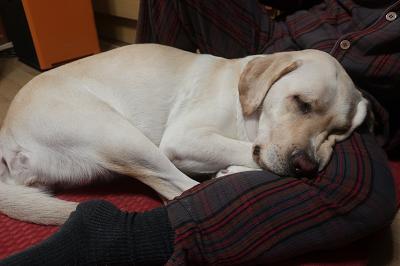 膝で眠る犬