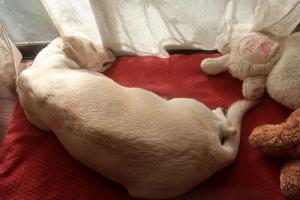 うつぶせに寝る犬