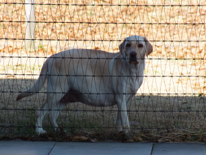 妊婦犬ウェルシー