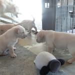 【動画】母犬が子犬を噛むのはなぜ?母犬は実践で教育する
