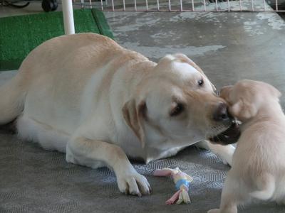 子犬を噛む母犬