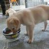 フードを食べる子犬