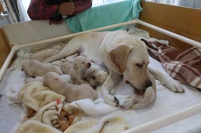 子犬の世話をする母犬