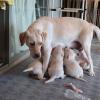 立ってお乳を飲む子犬