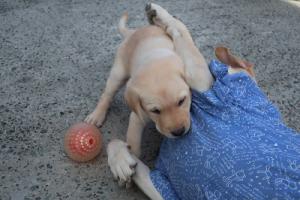 子犬と遊ぶ母犬