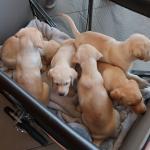 パピー委託式|盲導犬パピー1回目の別れと出会い