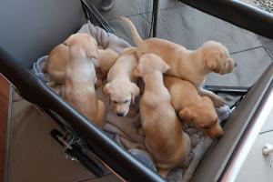 カートで運ばれる子犬たち