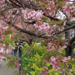 犬連れ河津町 河津桜のお花見