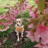 河津桜と犬