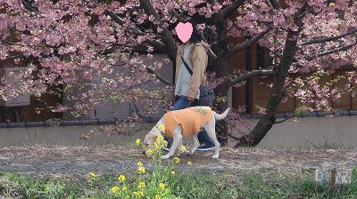 河津桜の並木を散歩