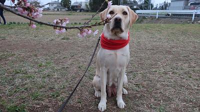 桜と座る犬