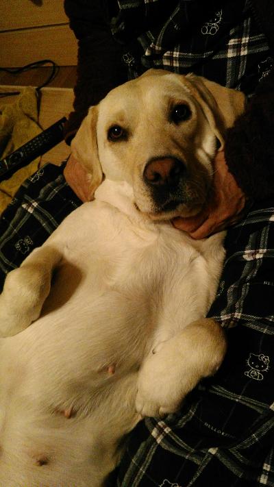 膝の上で甘える犬