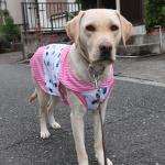 【パイロットインキルッキー犬用クーリングベスト】犬の熱中症対策に-7℃の冷感犬服が活躍