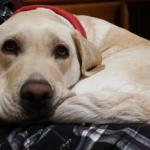 大型犬にできやすい「肘タコ」の治し方と予防法