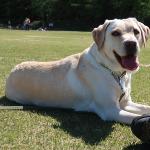 盲導犬受け入れ拒否への取り組み 日本盲導犬協会の場合