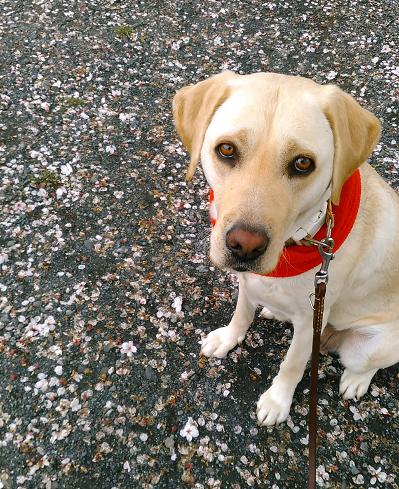 桜のはなびらと犬