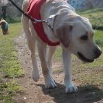 犬のマーキングの意味と盲導犬がマーキングをしない理由