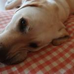 【ACジャパン広告】盲導犬について誤解しているかも?