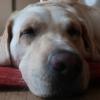 お昼寝中の犬