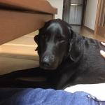 オランダにてマズルの短すぎる短頭犬種の繁殖を規制