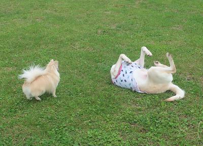 ゴロスリするウェルシーを見守る小型犬