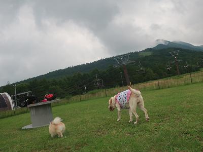 一緒にドッグランを歩く犬たち