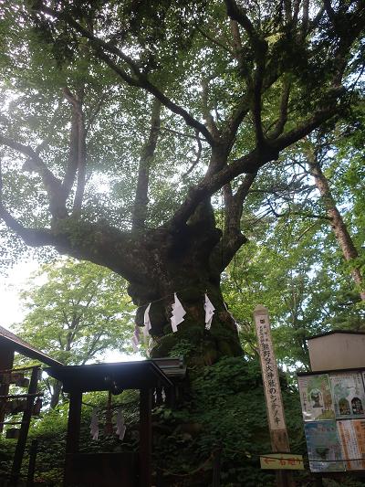ご神木しなの木