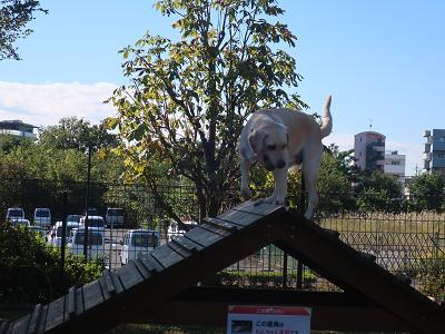 アジリティで遊ぶ犬