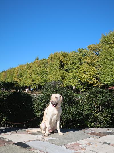銀杏並木と犬