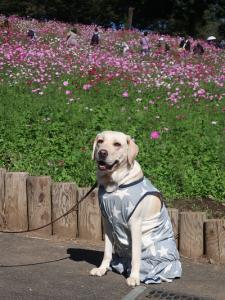コスモスと犬