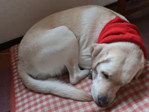 ネックウォーマーを着けて寝ている犬