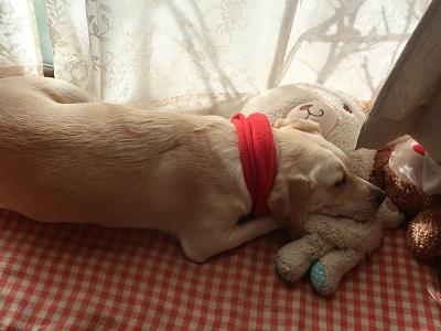 ぬいぐるみを枕に寝る犬