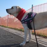 犬は道を覚える?車も回避する?驚くべき犬の散歩能力