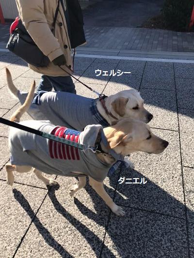 並んで歩く親子犬