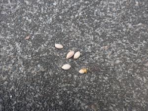 道に落ちている種