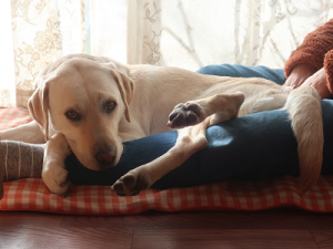 膝の上でくつろぐ犬