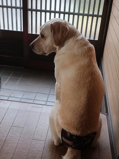 玄関で飼い主の帰りを待つ犬