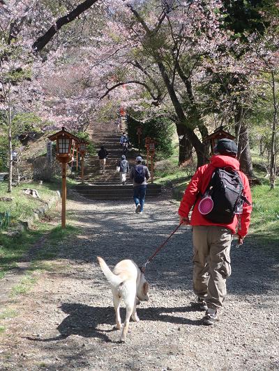 桜の下を散歩する犬