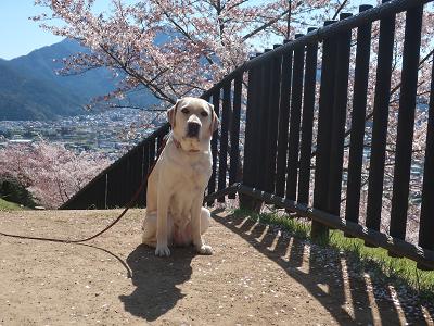 富士山と桜とウェルシー