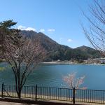 犬連れ富士山と桜旅|奥河口湖さくらの里公園&お洒落なイタリアンRistorante Provence