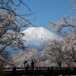 犬連れ富士山と桜旅|忍野八海