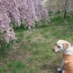 犬連れ桜の飯綱山公園歴史の広場(富士見城跡)優美な小諸八重紅枝垂を楽しもう