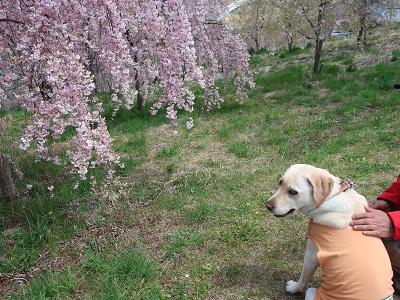 枝垂桜と犬